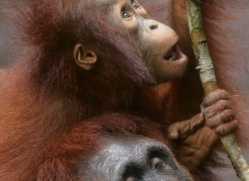 orangutan-3349-borneo-copyright-photographers-on-safari-com