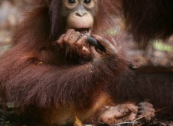 orangutan-3350-borneo-copyright-photographers-on-safari-com