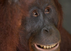orangutan-3354-borneo-copyright-photographers-on-safari-com