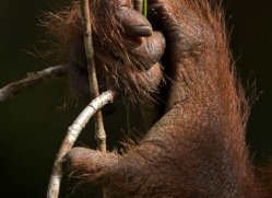 orangutan-3355-borneo-copyright-photographers-on-safari-com
