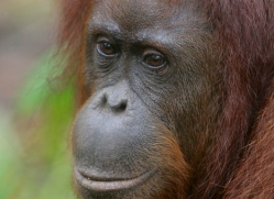 orangutan-3356-borneo-copyright-photographers-on-safari-com