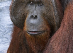 orangutan-3358-borneo-copyright-photographers-on-safari-com