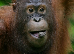 orangutan-3359-borneo-copyright-photographers-on-safari-com
