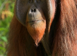 orangutan-3361-borneo-copyright-photographers-on-safari-com