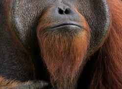 orangutan-3364-borneo-copyright-photographers-on-safari-com