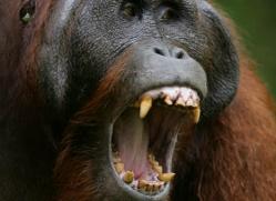 orangutan-3365-borneo-copyright-photographers-on-safari-com