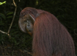 orangutan-3366-borneo-copyright-photographers-on-safari-com