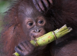 orangutan-3369-borneo-copyright-photographers-on-safari-com