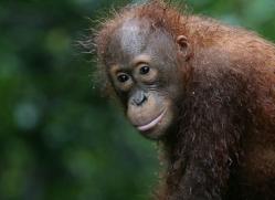 orangutan-3370-borneo-copyright-photographers-on-safari-com