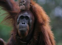 orangutan-3371-borneo-copyright-photographers-on-safari-com
