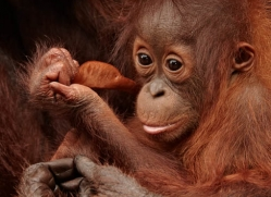 orangutan-3374-borneo-copyright-photographers-on-safari-com