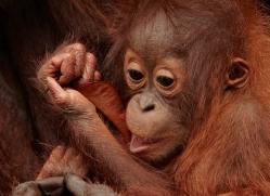 orangutan-3375-borneo-copyright-photographers-on-safari-com