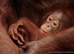 orangutan-3376-borneo-copyright-photographers-on-safari-com