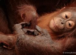orangutan-3377-borneo-copyright-photographers-on-safari-com