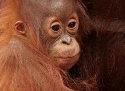 orangutan-3380-borneo-copyright-photographers-on-safari-com