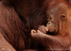 orangutan-3381-borneo-copyright-photographers-on-safari-com