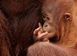 orangutan-3382-borneo-copyright-photographers-on-safari-com