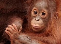 orangutan-3384-borneo-copyright-photographers-on-safari-com