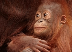 orangutan-3385-borneo-copyright-photographers-on-safari-com