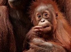 orangutan-3387-borneo-copyright-photographers-on-safari-com