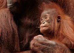 orangutan-3388-borneo-copyright-photographers-on-safari-com