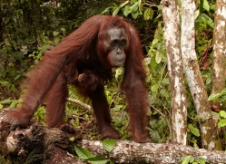 orangutan-3392-borneo-copyright-photographers-on-safari-com