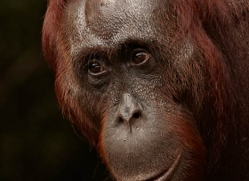 orangutan-3393-borneo-copyright-photographers-on-safari-com