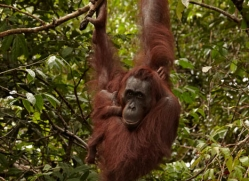 orangutan-3394-borneo-copyright-photographers-on-safari-com