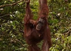 orangutan-3396-borneo-copyright-photographers-on-safari-com