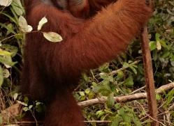orangutan-3398-borneo-copyright-photographers-on-safari-com