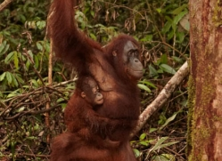 orangutan-3400-borneo-copyright-photographers-on-safari-com
