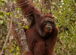 orangutan-3402-borneo-copyright-photographers-on-safari-com