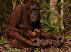 orangutan-3405-borneo-copyright-photographers-on-safari-com