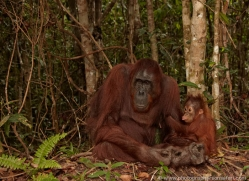orangutan-3407-borneo-copyright-photographers-on-safari-com