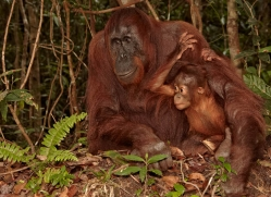 orangutan-3408-borneo-copyright-photographers-on-safari-com