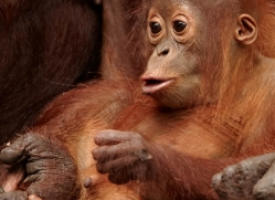 orangutan-3409-borneo-copyright-photographers-on-safari-com