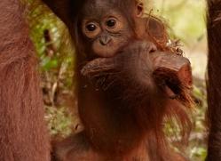 orangutan-3410-borneo-copyright-photographers-on-safari-com