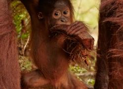 orangutan-3411-borneo-copyright-photographers-on-safari-com