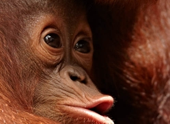 orangutan-3412-borneo-copyright-photographers-on-safari-com