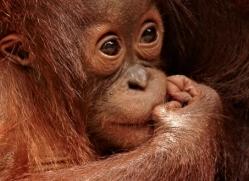 orangutan-3414-borneo-copyright-photographers-on-safari-com