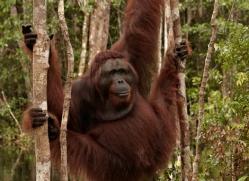 orangutan-3416-borneo-copyright-photographers-on-safari-com