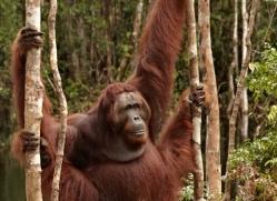 orangutan-3418-borneo-copyright-photographers-on-safari-com