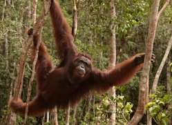 orangutan-3419-borneo-copyright-photographers-on-safari-com