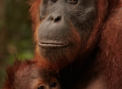 orangutan-3421-borneo-copyright-photographers-on-safari-com