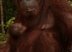 orangutan-3422-borneo-copyright-photographers-on-safari-com