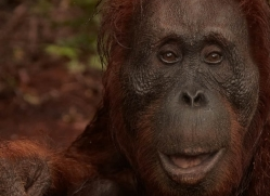 orangutan-3423-borneo-copyright-photographers-on-safari-com