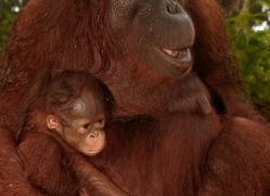 orangutan-3424-borneo-copyright-photographers-on-safari-com