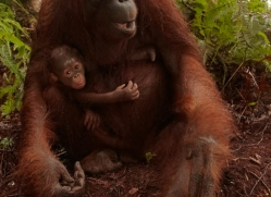 orangutan-3425-borneo-copyright-photographers-on-safari-com
