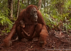 orangutan-3426-borneo-copyright-photographers-on-safari-com
