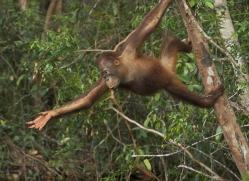 orangutan-3429-borneo-copyright-photographers-on-safari-com
